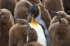 企鹅国王托婴所在福克兰群岛 免版税库存照片