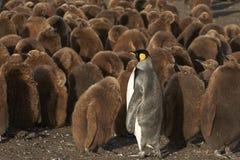 企鹅国王托婴所在福克兰群岛 库存照片