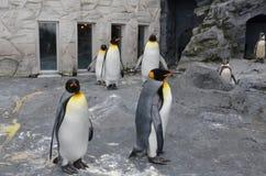 企鹅国王的全身羽毛 免版税图库摄影