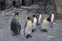 企鹅国王的全身羽毛 免版税库存照片