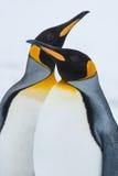 企鹅国王的夫妇 免版税图库摄影