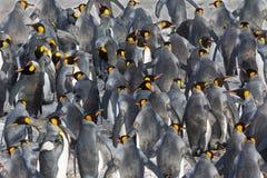 企鹅国王群  免版税图库摄影