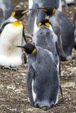 企鹅国王-爱在天空中 库存照片