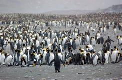 企鹅国王 免版税库存照片