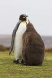 企鹅国王(Aptenodytes patagonicus)哺养它的是在的小鸡 库存图片