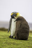 企鹅国王(Aptenodytes patagonicus)哺养的小鸡 免版税库存图片