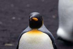 企鹅国王(Aptenodytes patagonicus)在雨中 免版税库存图片