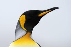 企鹅国王(Aptenodytes patagonicus)画象 免版税库存图片