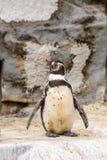 企鹅在动物园里 免版税图库摄影