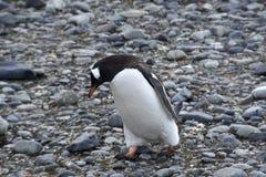 企鹅在南极洲 库存图片