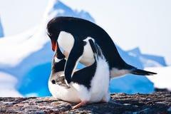 企鹅在南极洲 库存照片