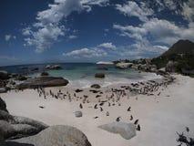 企鹅在开普角南非 免版税库存图片