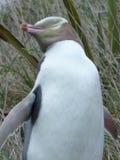 企鹅在新西兰 免版税库存图片