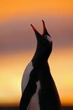 企鹅在橙色日落的晚上场面 与太阳光的美丽的gentoo企鹅 与晚上光的企鹅 打开企鹅票据 Yo 图库摄影