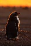 企鹅在橙色日落的evenig场面 与太阳光的美丽的gentoo企鹅 与晚上光的企鹅 打开企鹅票据 库存图片