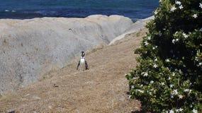 企鹅在自然生态环境 库存图片