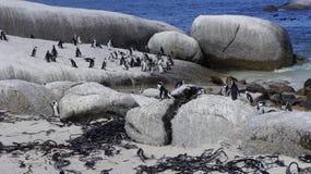 企鹅在自然生态环境 免版税库存照片