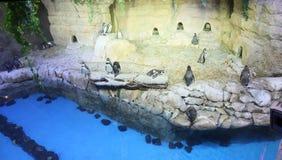 企鹅在迪拜的动物园里 阿拉伯联合酋长国 免版税库存图片