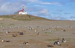 企鹅在马格达莱纳海岛上的` s殖民地 库存图片