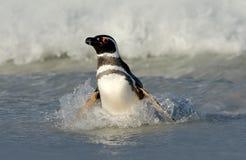 企鹅在水中 鸟playng海波浪 游泳波浪的企鹅 海鸟在水中 Magellanic企鹅在t的海浪 库存照片