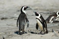 企鹅夫妇在开普敦半岛的 免版税库存图片