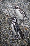 企鹅夫妇,小猎犬海峡,乌斯怀亚,阿根廷 免版税库存照片