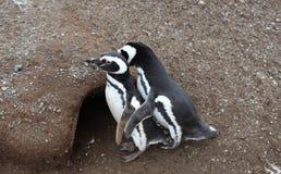 企鹅夫妇 免版税库存图片