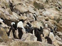 企鹅小鸡托婴所在岩石和冰砾中的 免版税库存图片