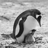 企鹅小鸡 免版税库存图片
