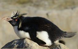 企鹅岩石rockhopper 库存图片