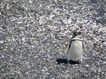 企鹅想要蠢材图片的他自己 免版税库存照片
