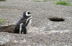 企鹅掩藏 库存照片