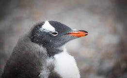 企鹅枪口特写镜头的画象 安德列耶夫 免版税库存照片