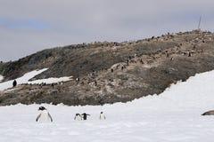企鹅殖民地在南极洲 免版税库存图片