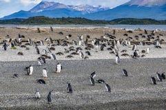 企鹅殖民地,乌斯怀亚,阿根廷 库存图片