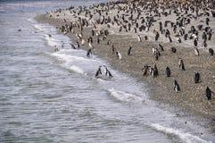 企鹅殖民地,小猎犬海峡,乌斯怀亚,阿根廷 免版税库存图片