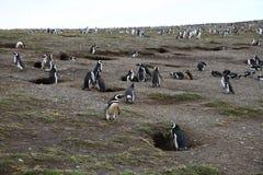 企鹅殖民地 库存图片