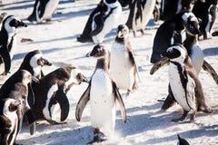 企鹅殖民地 免版税图库摄影