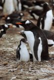 企鹅母亲和小鸡 库存图片