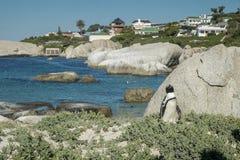 企鹅海滩在开普敦 图库摄影