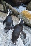 企鹅海滩在开普敦 免版税图库摄影