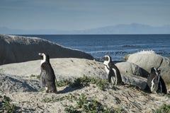 企鹅海滩在开普敦 免版税库存图片