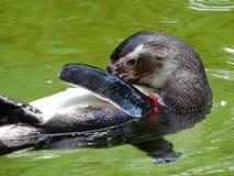 企鹅游泳和清洁在动物园里在巴伐利亚在奥格斯堡 免版税库存照片