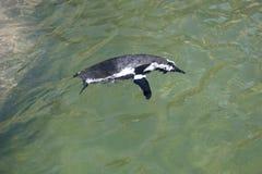 企鹅游泳 免版税图库摄影