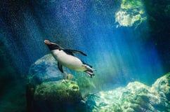 企鹅潜水 免版税库存照片