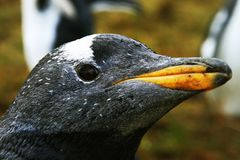 企鹅特写镜头 免版税图库摄影