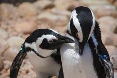 企鹅秘密 库存照片
