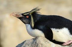 企鹅纵向rockhopper 库存图片