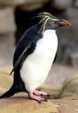 企鹅纵向rockhopper 库存照片