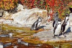 企鹅蠢企鹅Humboldti群  免版税图库摄影